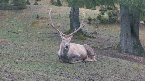 Thumbnail for Red deer in rutting season. Autumn - hunting season.