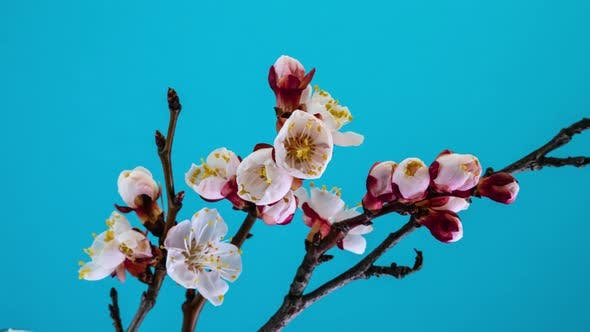 Thumbnail for White Flowers Bloom on a Tree Branch