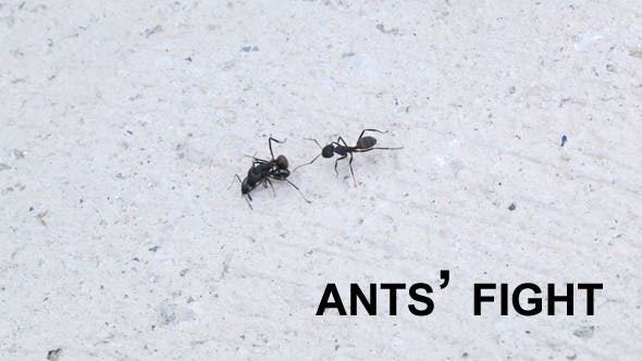 Thumbnail for Ants Fighting 1