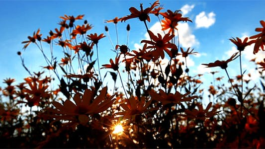 Thumbnail for Sunset Behind Flowers