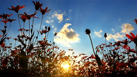 Thumbnail for Sunset Behind Flowers 2