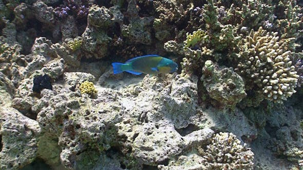 Thumbnail for Colorful Fish on Coral Reef, Red Sea 2
