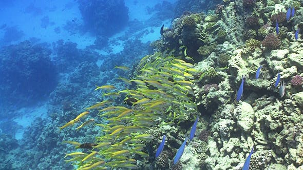 Thumbnail for Shoal of Yellow Fish on Coral Reef, Red Sea 4