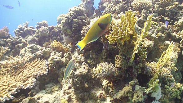 Thumbnail for Colorful Fish on Coral Reef, Red Sea 8
