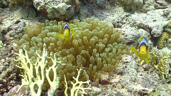 Thumbnail for Clown Anemonefish on Coral Reef, Red Sea 2