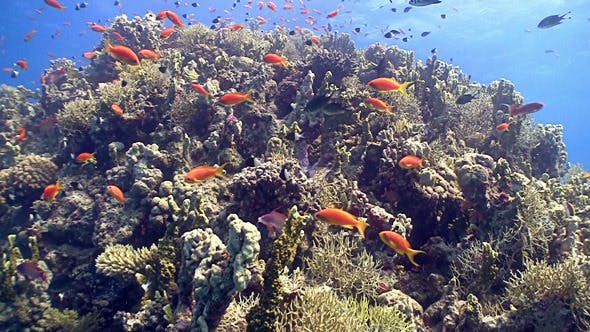 Thumbnail for Colorful Fish on Vibrant Coral Reef, Red Sea 7