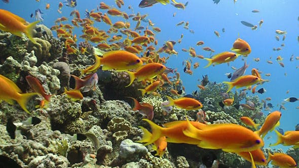 Thumbnail for Colorful Fish on Vibrant Coral Reef, Red Sea 8