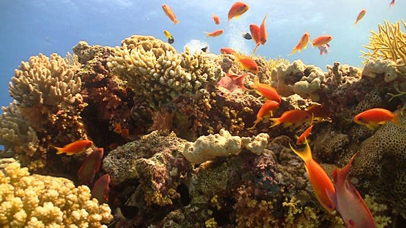 Thumbnail for Colorful Fish on Vibrant Coral Reef, Red Sea 9