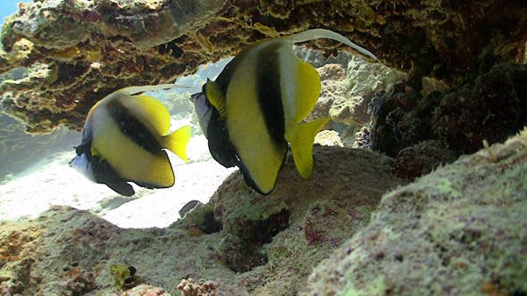 Thumbnail for Bannerfish on Coral Reef, Red Sea