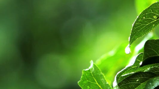 Thumbnail for Rain Drops On Green Leaves