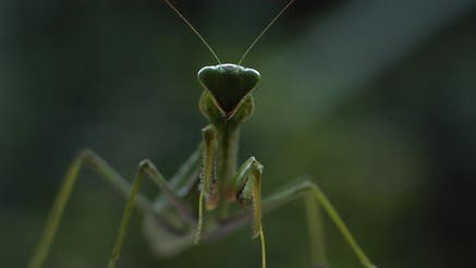 Close up Of the Praying Mantis Under the Rain on A Green Forest Background