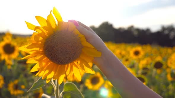 Thumbnail for Arm of Girl Caress Yellow Flower at the Meadow at Sunny Day. Female Hand Touching Beautiful