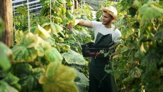 Thumbnail for Man Harvesting Cucumbers in Greenhouse