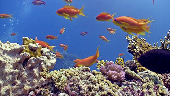Thumbnail for Colorful Fish On Vibrant Coral Reef, Static Scene