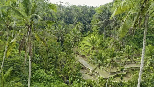 Thumbnail for Drone Over Palms In Tegalalang Terraced Fields