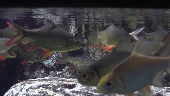 Thumbnail for Flock of Carp Underwater