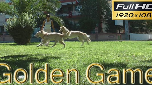 Thumbnail for Golden Retriever's Playing In The Park HD