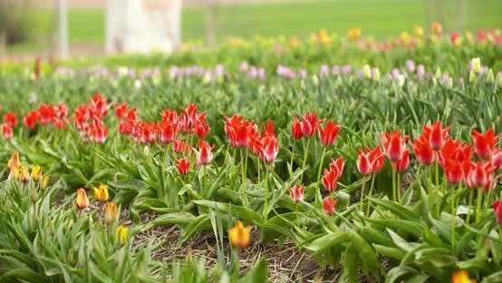 Thumbnail for Tulips Plantation in Netherlands Agriculture