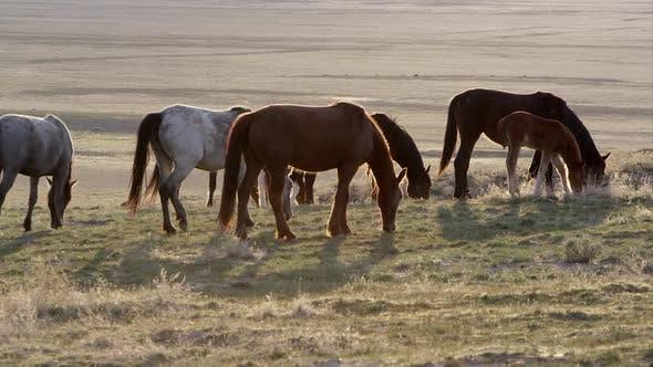 Thumbnail for Herd of wild horses grazing backlit from the sun.