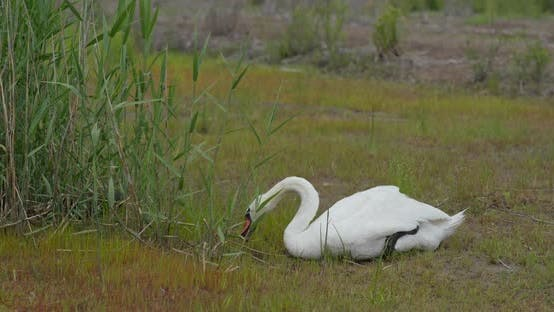 Thumbnail for Swan Eat Grass on The Grass
