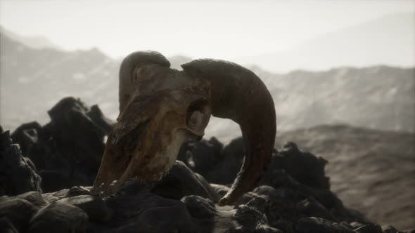 Thumbnail for European Mouflon Ram Skull in Natural Conditions in Rocky Mountains