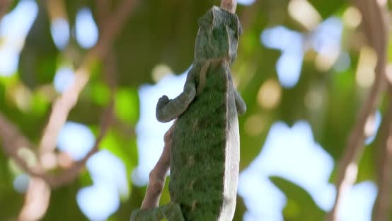 Thumbnail for Green chameleon crawling on branches