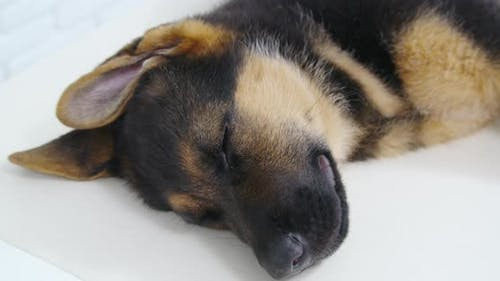 Nice Dog Resting and Sleeping After Examination in Clinic