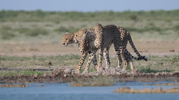 Thumbnail for Two Cheetahs around a water hole