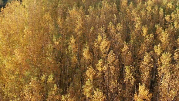 Thumbnail for Yellow forest - leaves on deciduous trees in autumn. Top down aerial view of the foliage