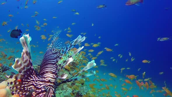 Cover Image for Lionfish Tropical Sea Fishes
