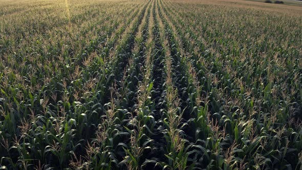 Thumbnail for Corn field, flight over the cream of corn stalks, excellent growth,