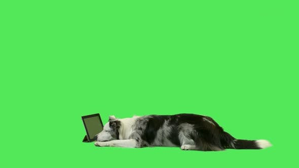 Pet dog watching digital tablet