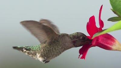 Hummingbird Feeding Slow Motion.