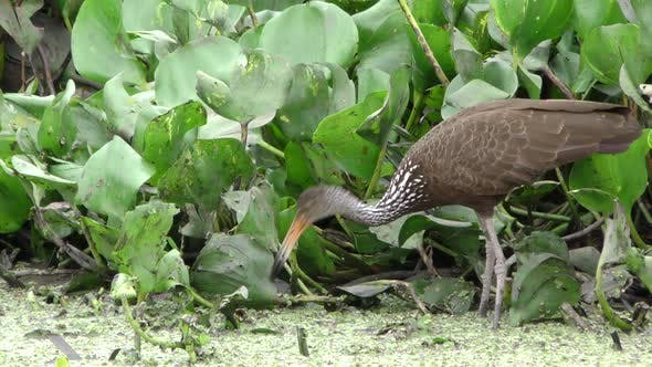 Limpkin Adult Lone Predation Kill Capture Carrying in Brazil