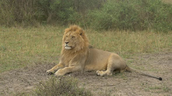 Thumbnail for Lion lying down