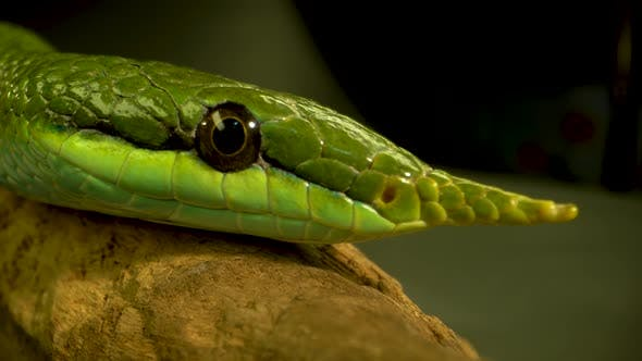 Rhinoceros Ratsnake or Rhynchophis Boulengeri. Also Known As Rhinoceros Snake or Green Unicorn