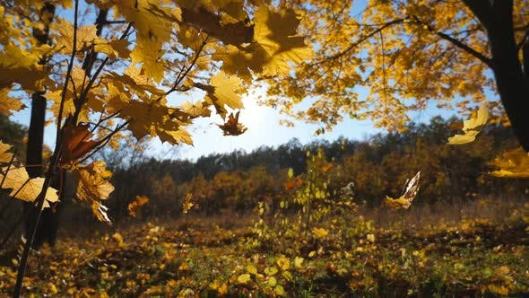 Golden Maple Leaves Falls on Ground in Empty Forest. Yellow Autumn Foliage Covered Lawn in Park at