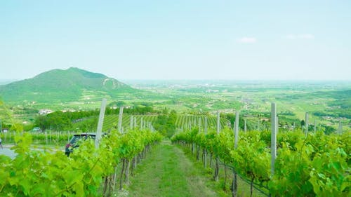 Vineyards Grow on the Green Hills of the Veneto