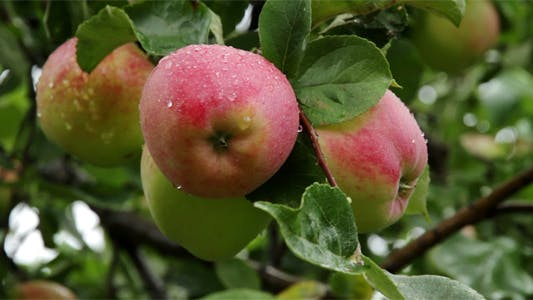 Thumbnail for Ripe, Juicy Apples on a Branch.