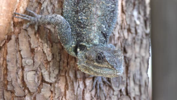 Thumbnail for Close up from the head of a southern tree agama