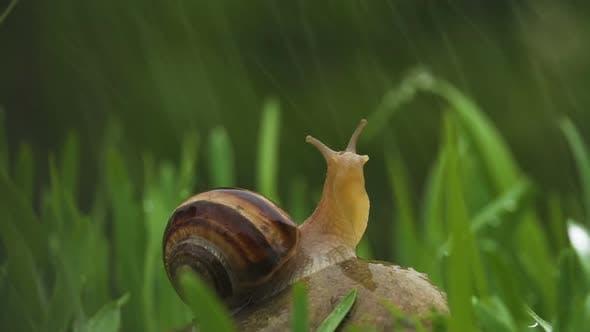 Thumbnail for Snail Crawls Along Green Grass In Rain
