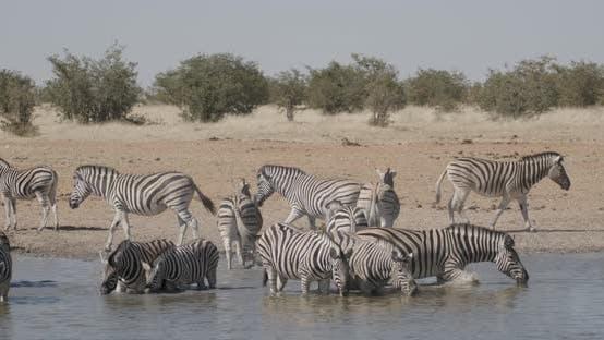 Thumbnail for Zebra Herd Drinking