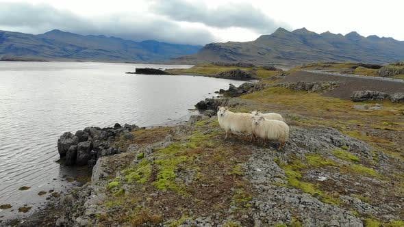 Thumbnail for Aerial View of Sheep Graze on Seashore, Iceland