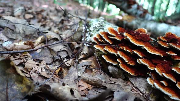 Cover Image for Forest Mushrooms