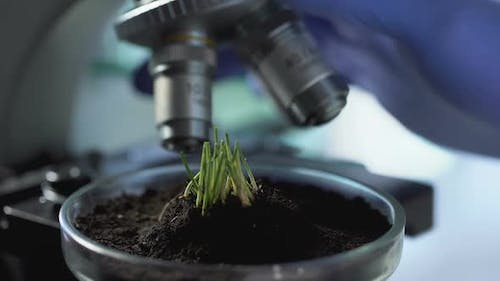 Sprouts Growth on Petri Dish, Agronomist Breeding New Varieties of Cereals