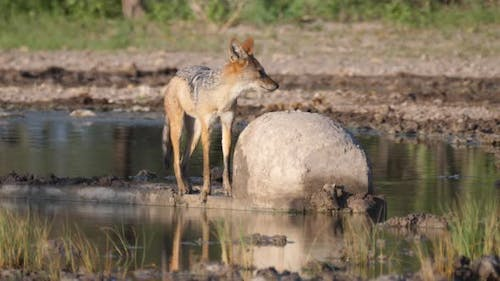 Black-backed jackal at a water pool