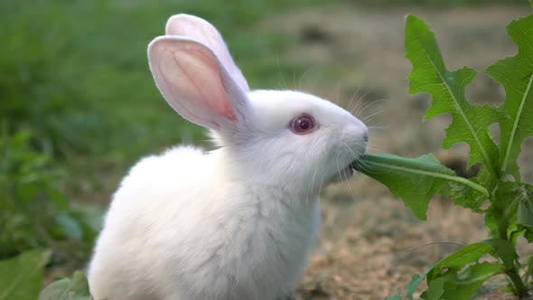Thumbnail for Funny Baby White Rabbit Eat Green Grass