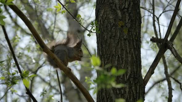 Thumbnail for Squirrel  Sits on a Tree Branch