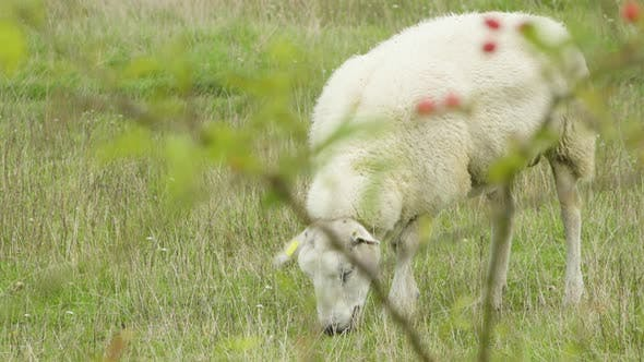 Thumbnail for View of a Single Sheep Through a Hip Branch, Sheep Eats in a Green Field.