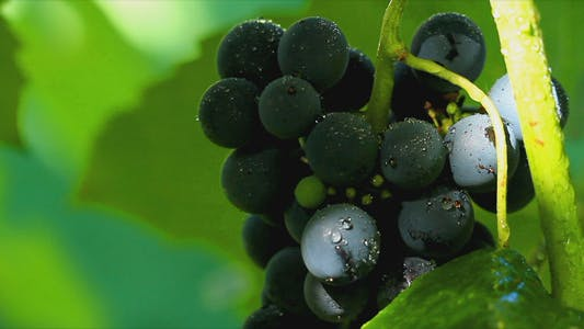Thumbnail for Grapes In Sunlight